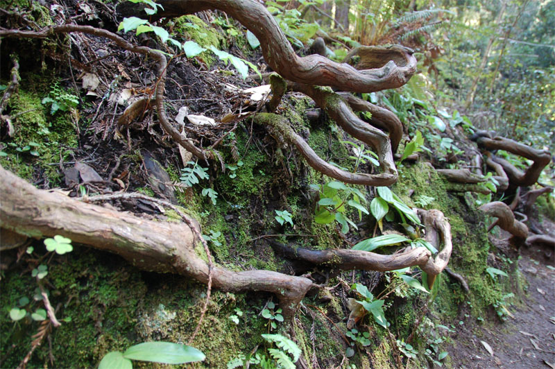 Gnarly_curly_mossy_branches